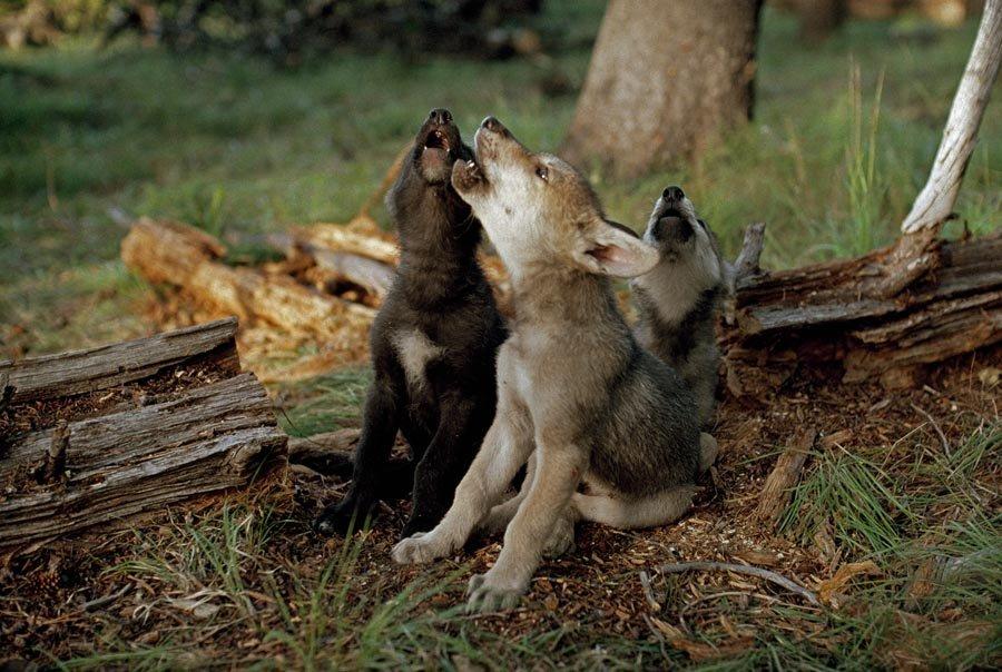 двери-перегородки могут картинки волчонок воет нынешнем гербе