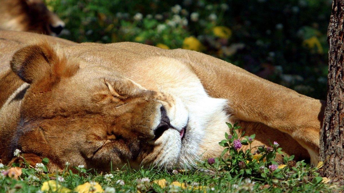 Лев, сон, трава, большая кошка, Ñищник