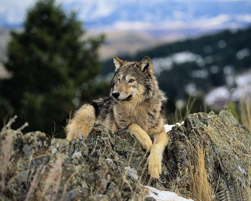 Волк – непривередливый хищник