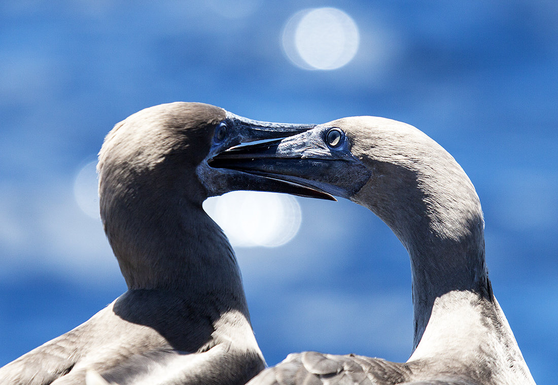 голубая птица фото олуша стажем