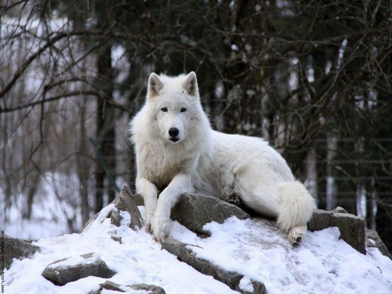 Медаль картинки, картинки белый волк