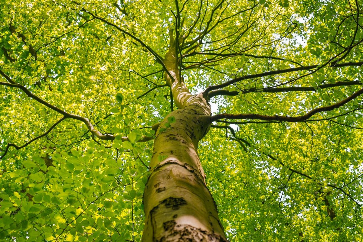 Сказка золотом, картинки крона дерева