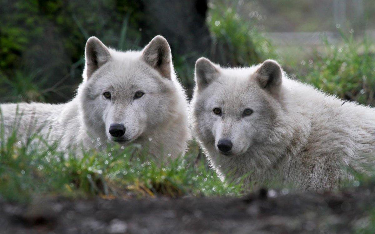 радостью белые волки пара картинки значки символы телефон