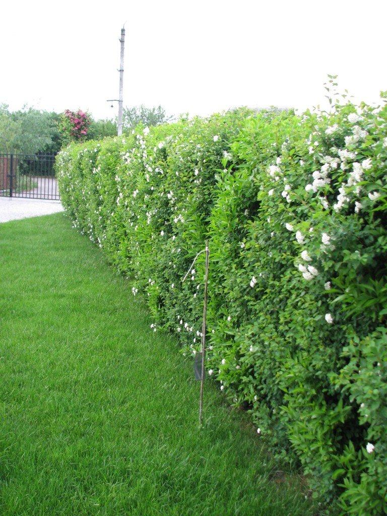 934daae3ebe3 Живая изгородь оформление, посадка Никто не станет спорить, что живая  изгородь, как и