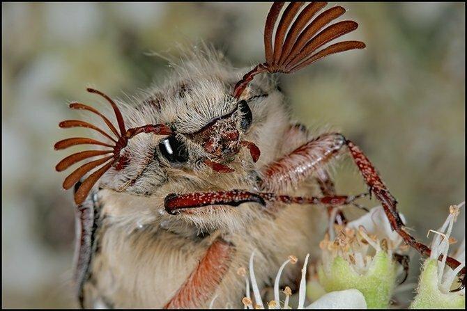 майский жук в березовом лесу