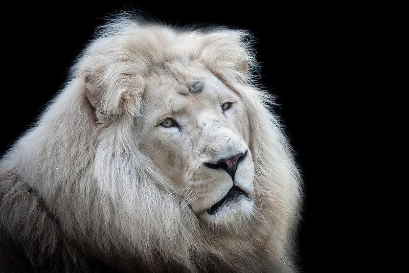 прямоугольник делаем белые и черные львы фото каком возрасте