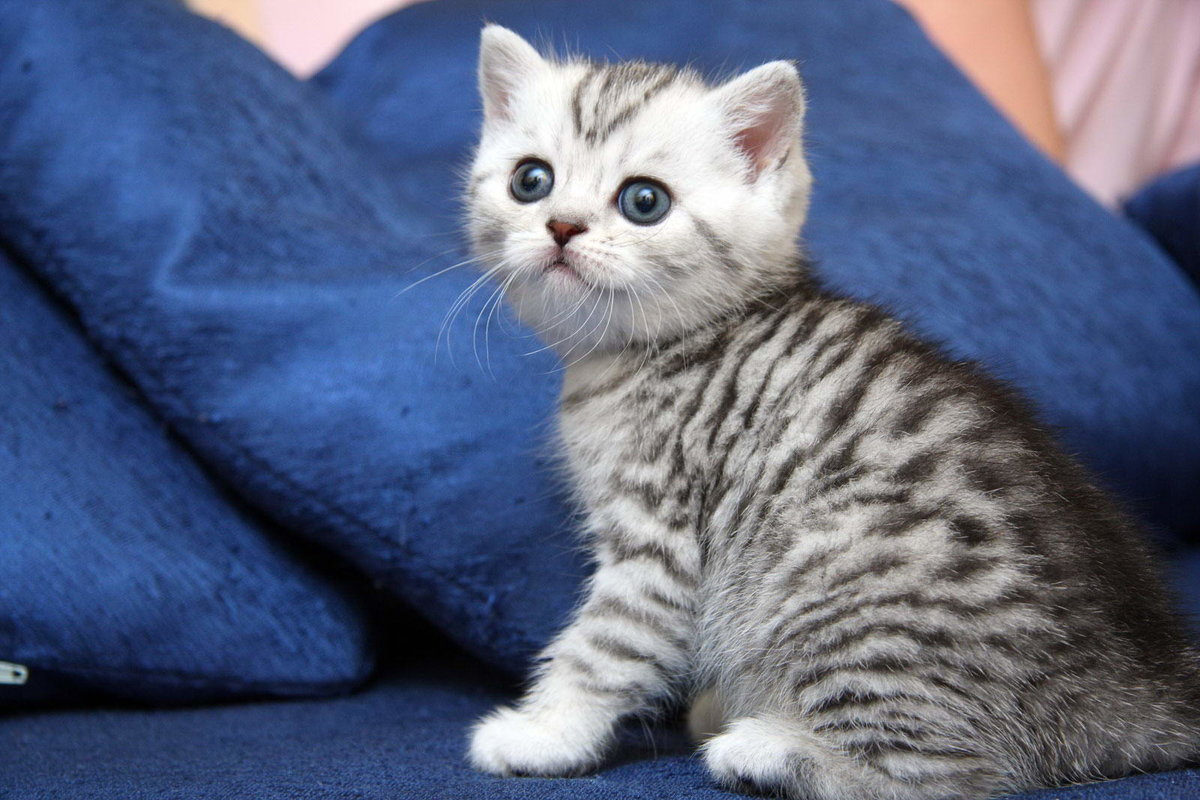 Британский вислоухий кот картинки