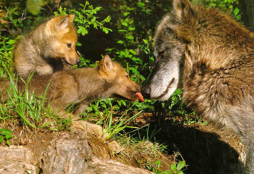 картинка волчица и его детеныш