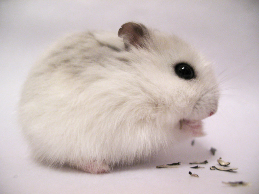 The Winter White Hamster also known as the Winter White Dwarf Hamster Djungarian Hamster or the Siberian Hamster is one of three Dwarf Species