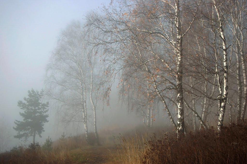 Березы в тумане