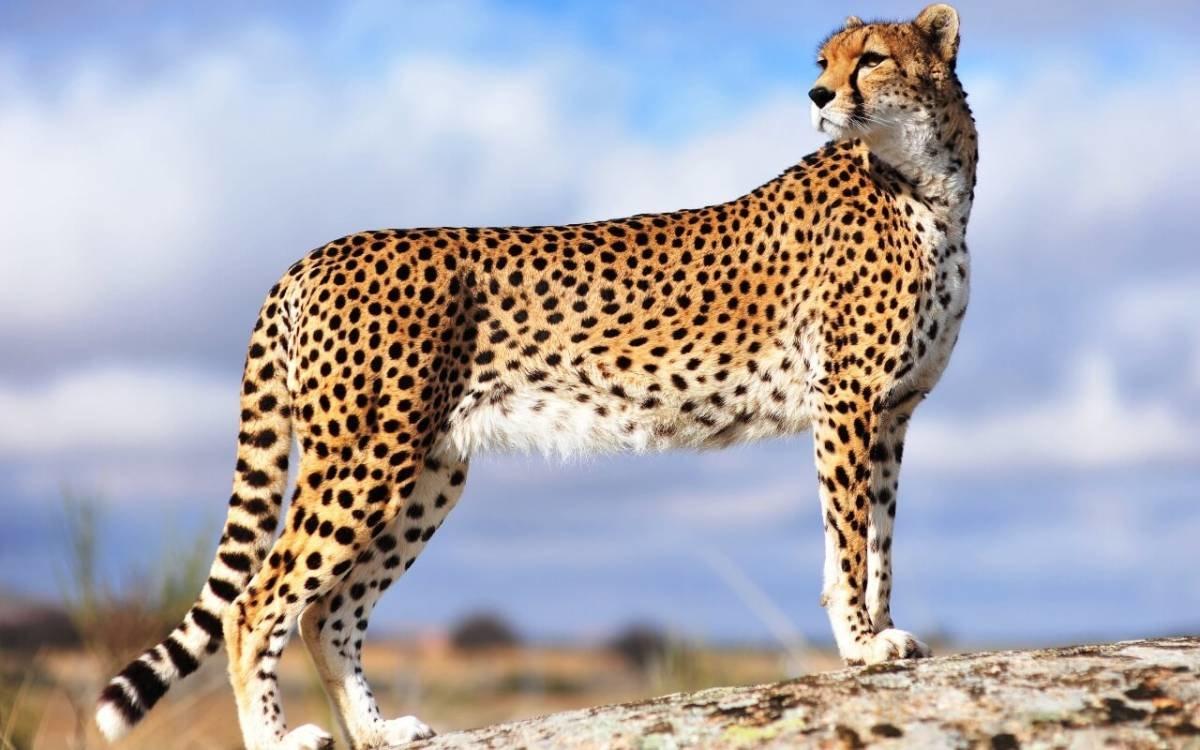 Гепард – самый быстрый хищник на земле