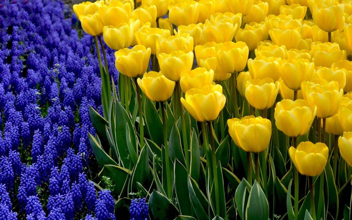 Фото желтых тюльпанов на рабочий стол