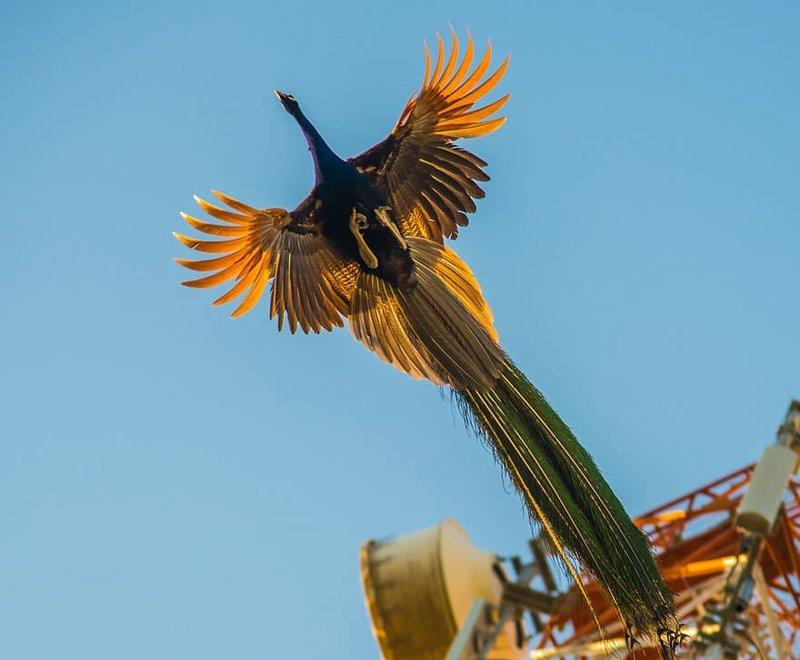 Летящий павлин на фоне голубого неба.