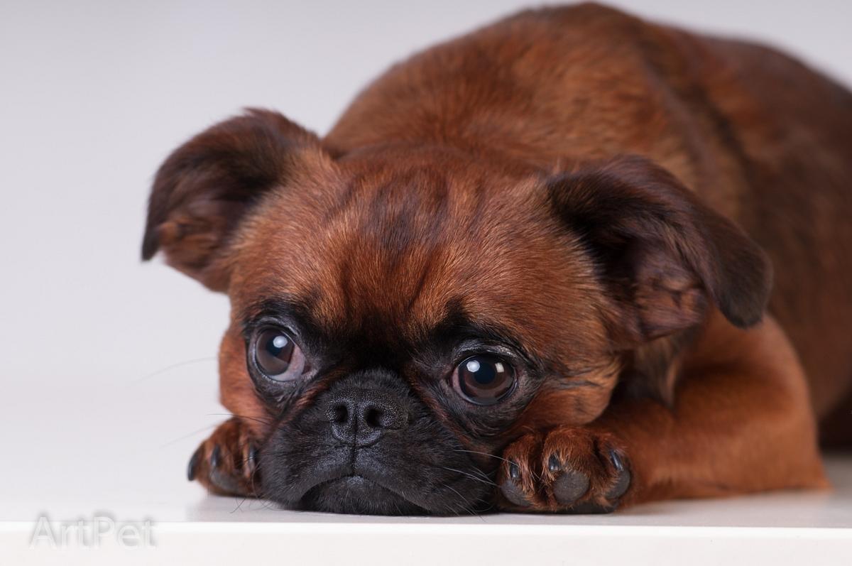 грифон собака фото брабансон довольно хороша для