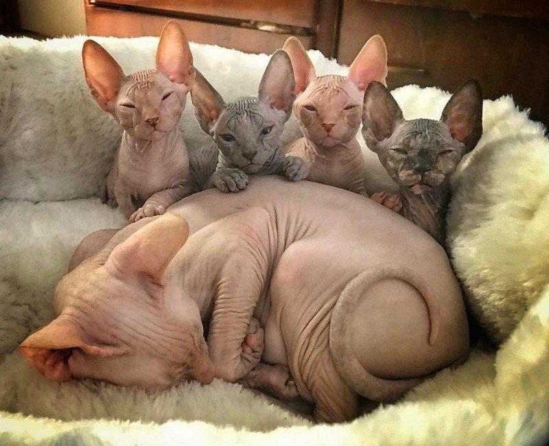фото смешных лысых кошек