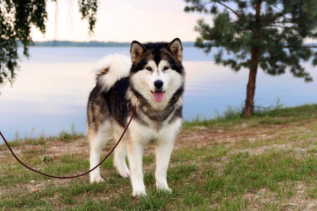 порода собак маламут в картинках лучшие фотографии