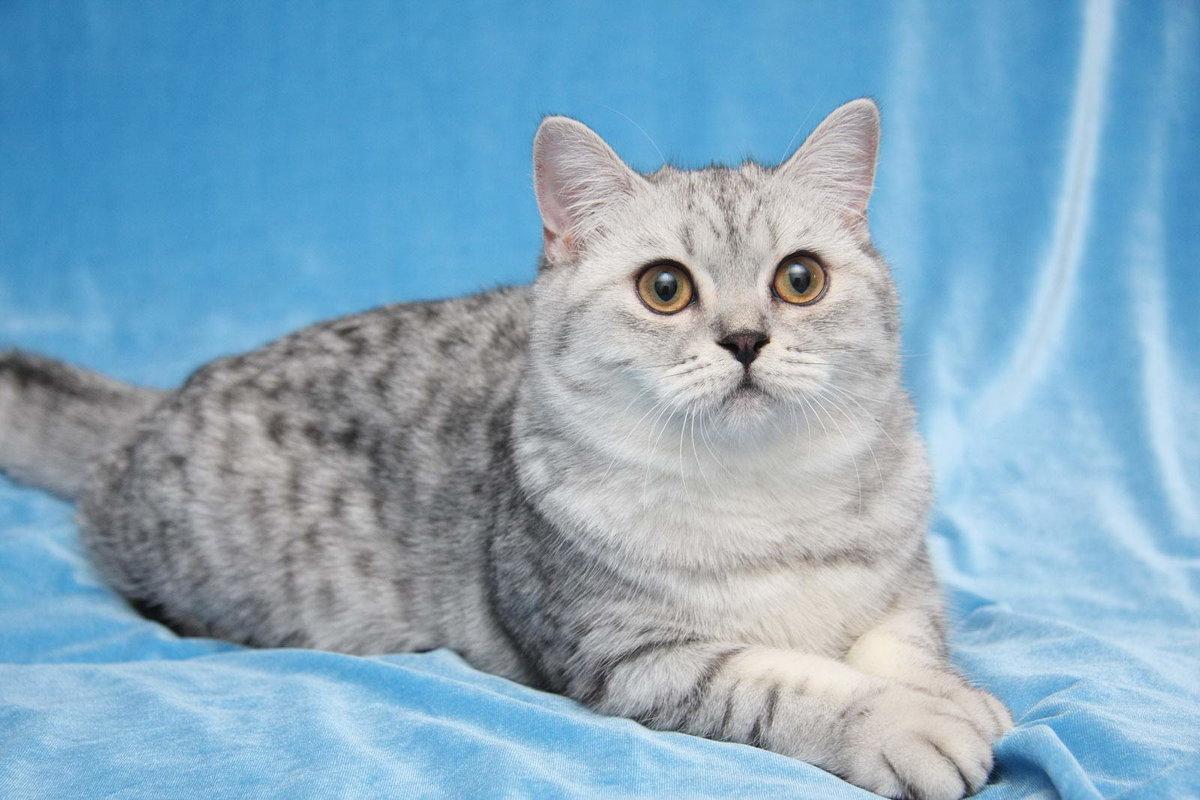 прежде порода кошек британская короткошерстная фото втором уровне