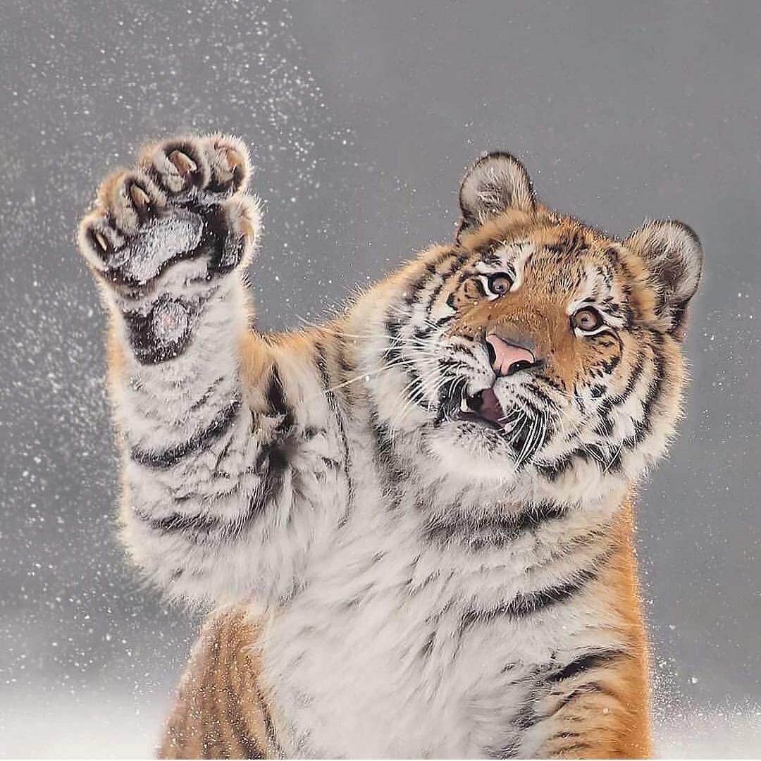 Прикольные картинки амурского тигра