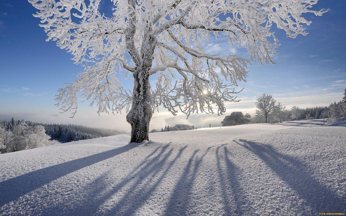 снежная красота в картинках цветка гелиотропа