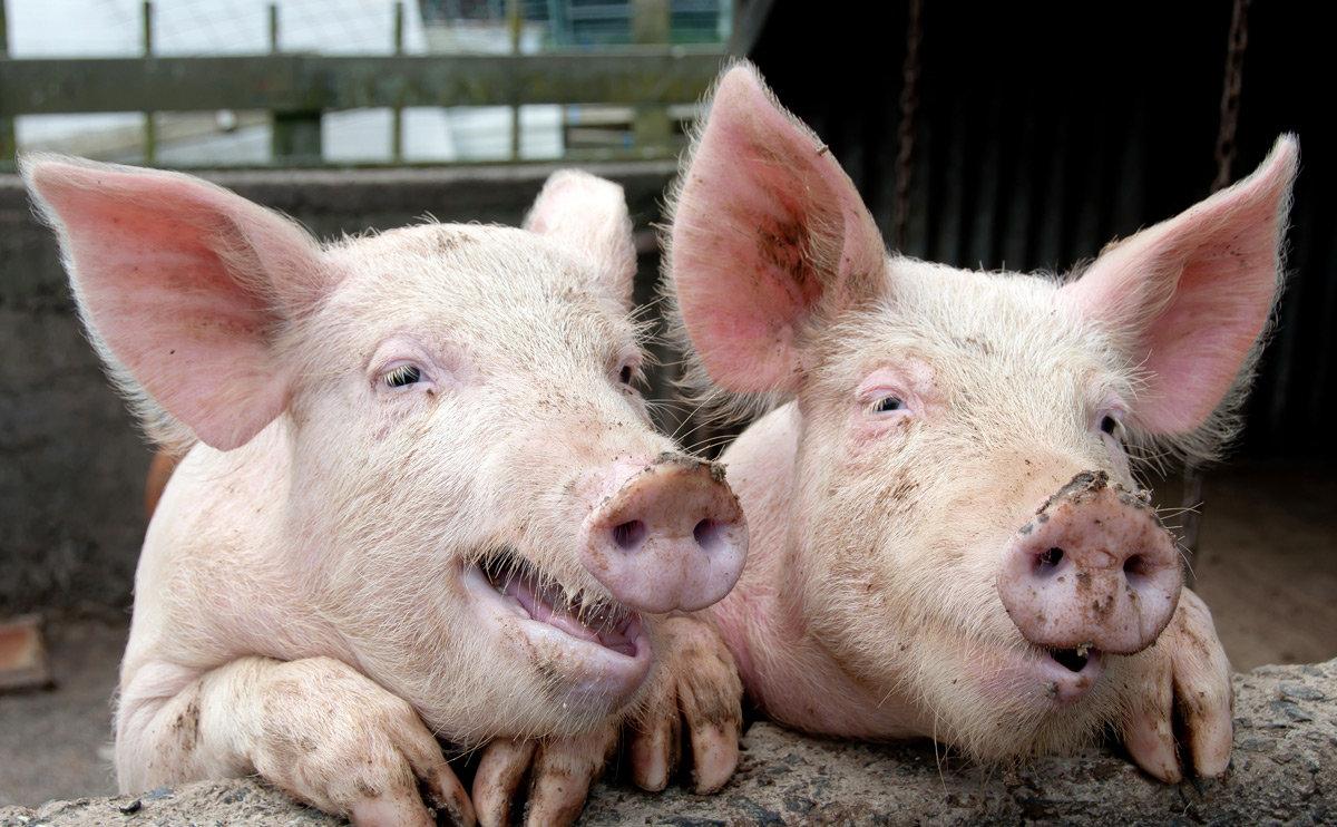 Днем, свиньи на картинках