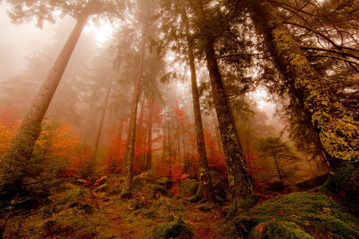 Туман осенним утром в сосновом лесу