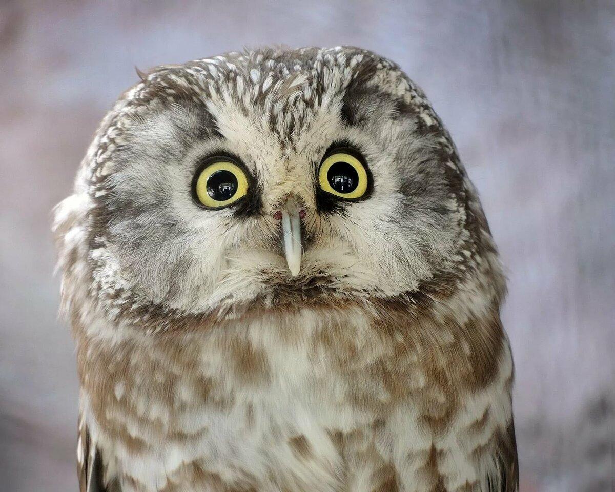 картинка нервная сова ляля
