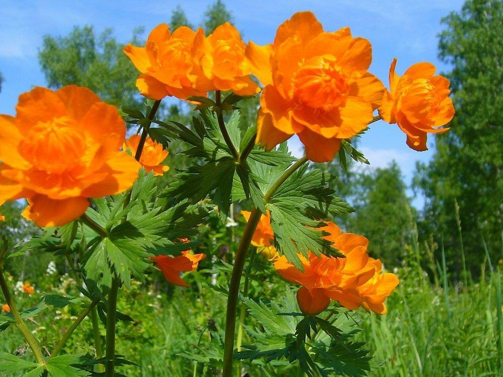 способов цветы жарки сибирские фото это