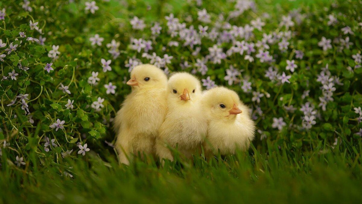 Цыпленок картинки красивые, днем