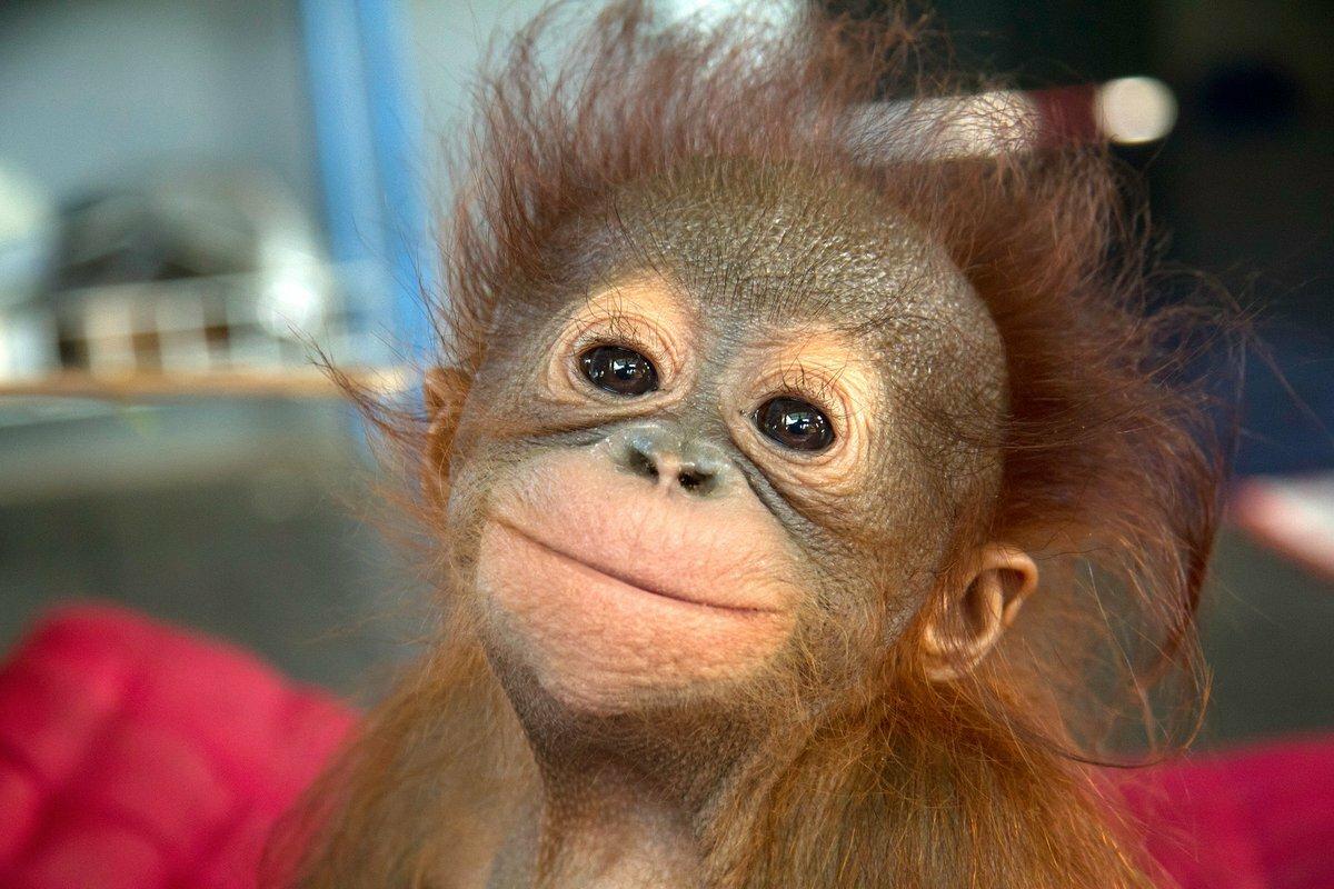 Прикольные картинки обезьян с надписью, достижениях