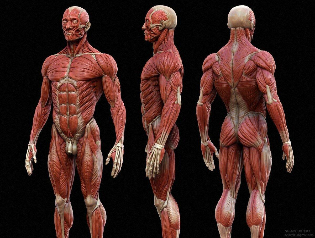 Картинка человека с мышцами