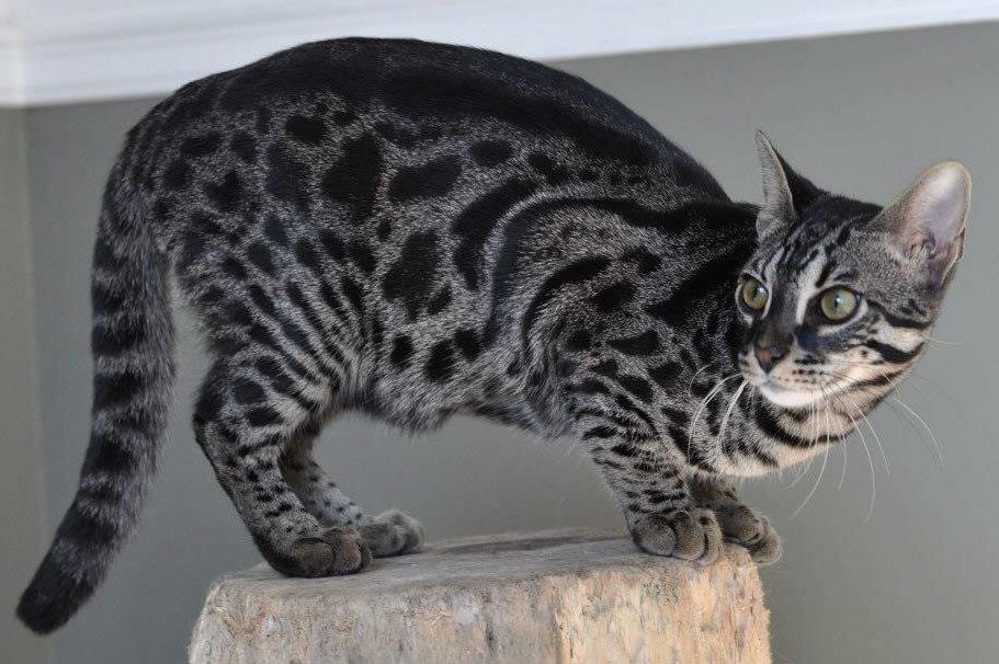 центр окрасы бенгальской кошки в картинках технология отличается