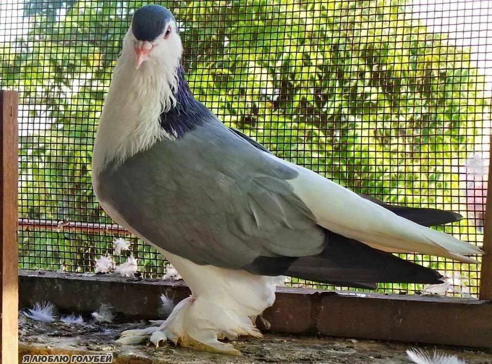 фото голубей всех пород