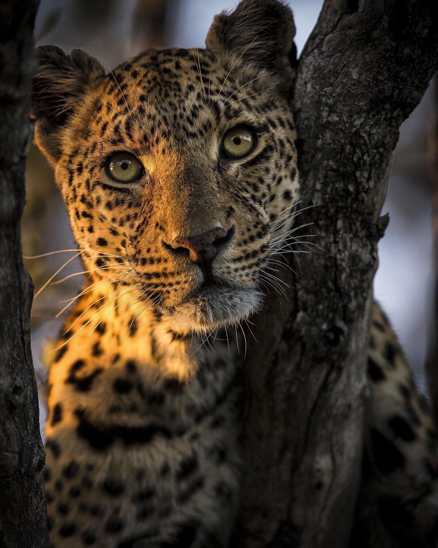 Картинки с леопардом фото