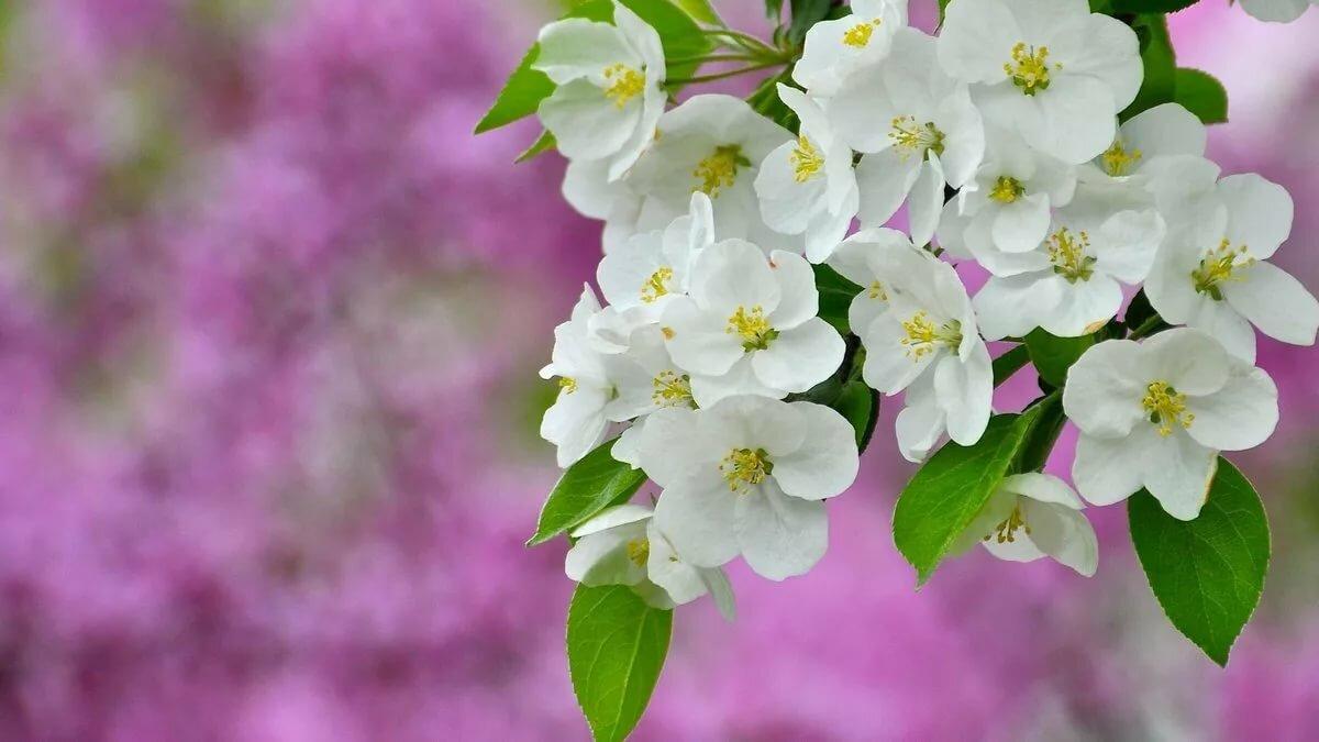 Открытка, открытки с цветущей яблоней весной