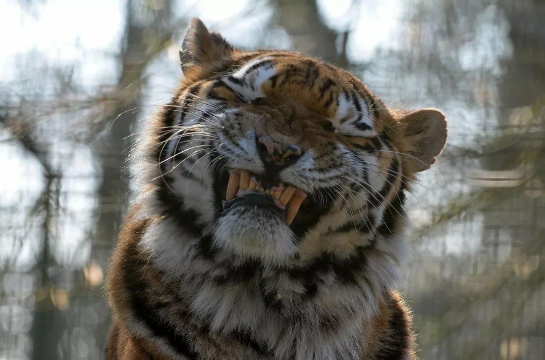 Картинки смешные тигры