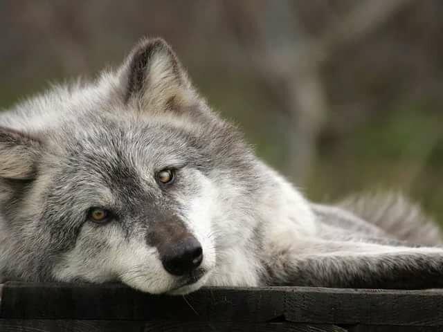 Вижу открытки, одинокая волчица открытки