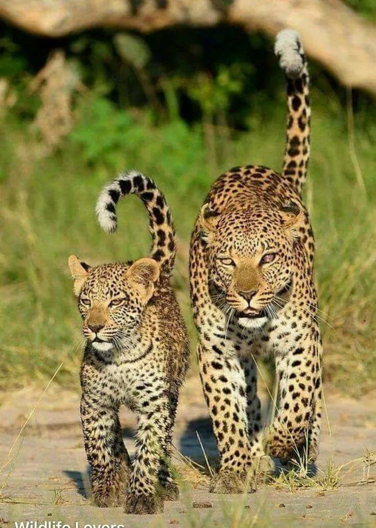тот картинки два леопарденка прямостоячий