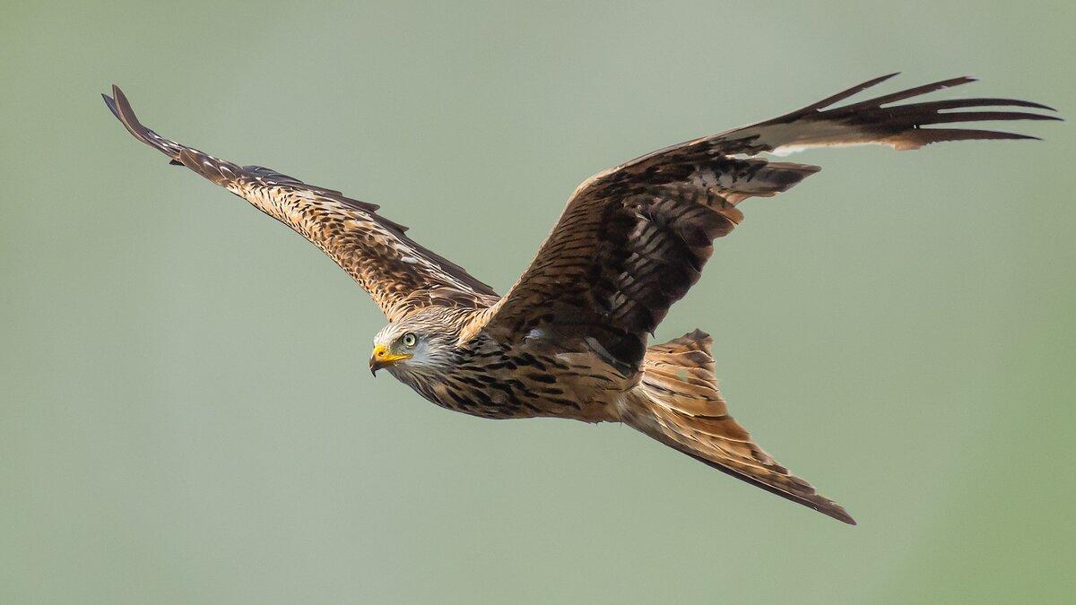 орел фото птицы в полете способы