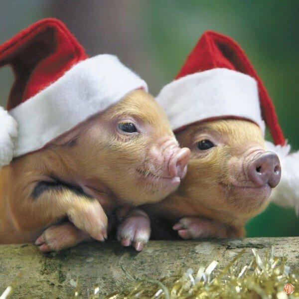 картинки с новым годом милые свинюшки творожок
