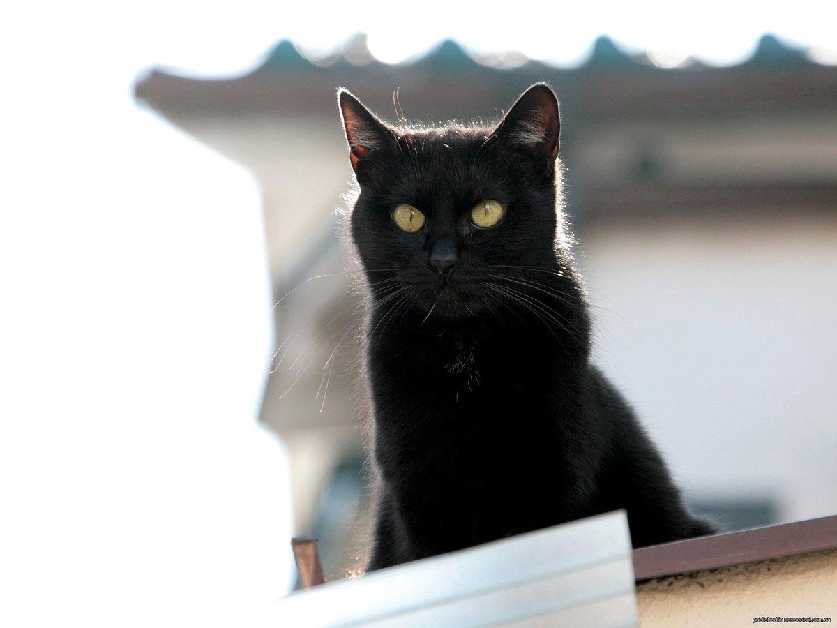 Черные коты прикольные картинки
