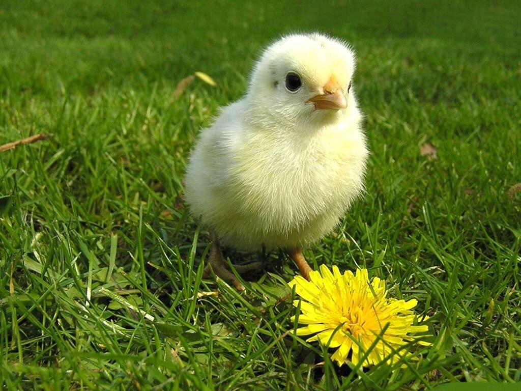 Цыпленок картинки красивые, машины картинки прикольные
