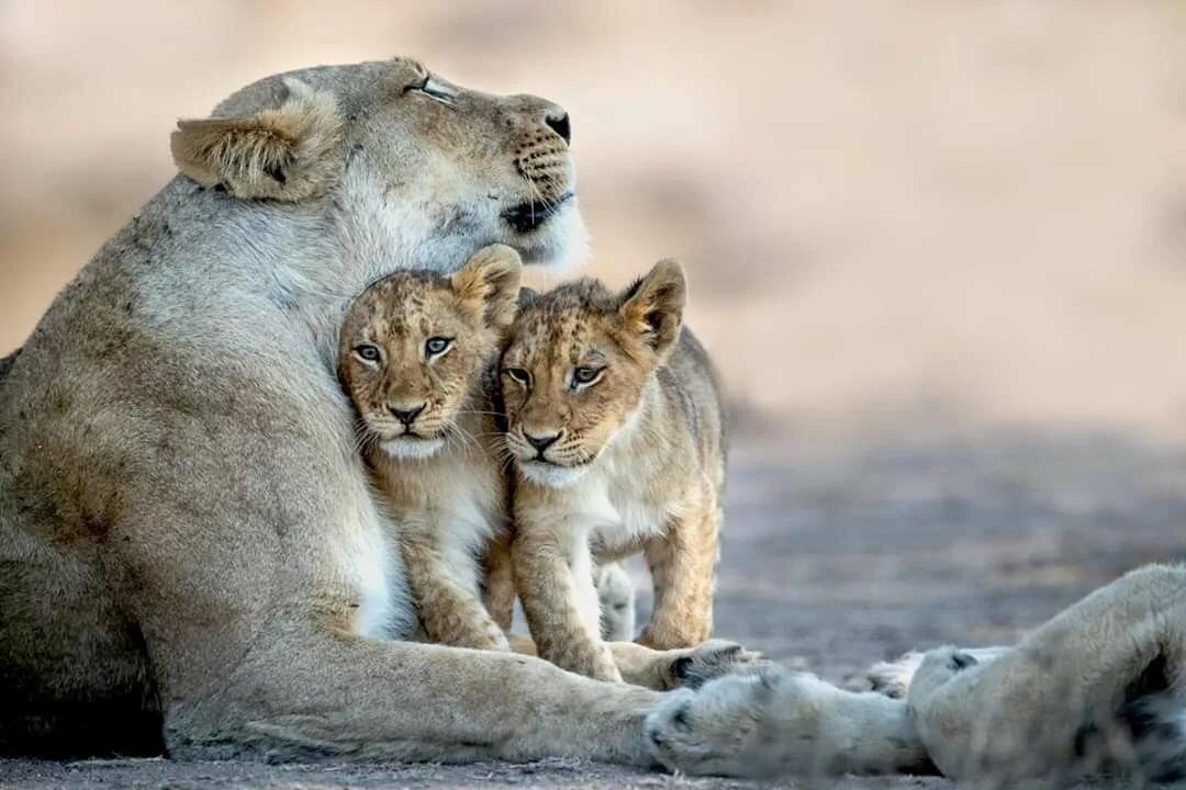 Картинки львов тигров пантер леопардов