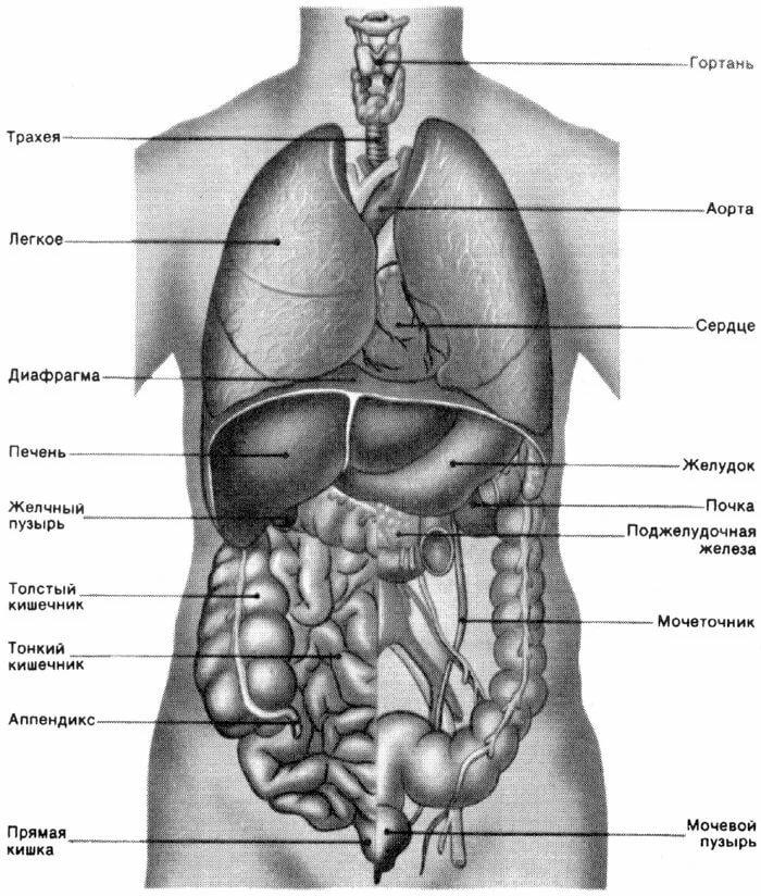 Строение тела человека картинки с надписями