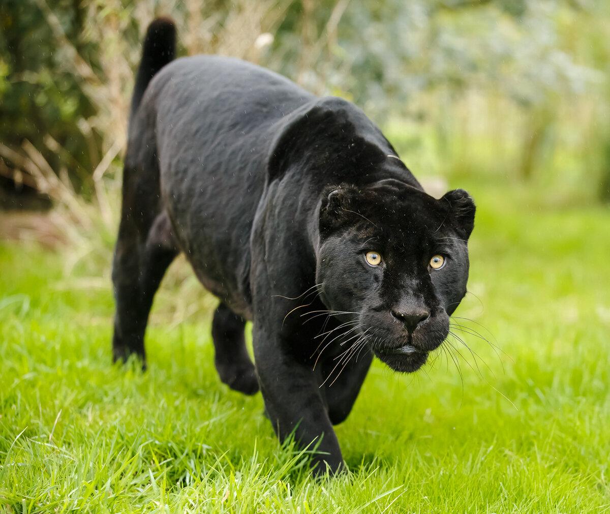 Воспитателя, картинка черная пантера
