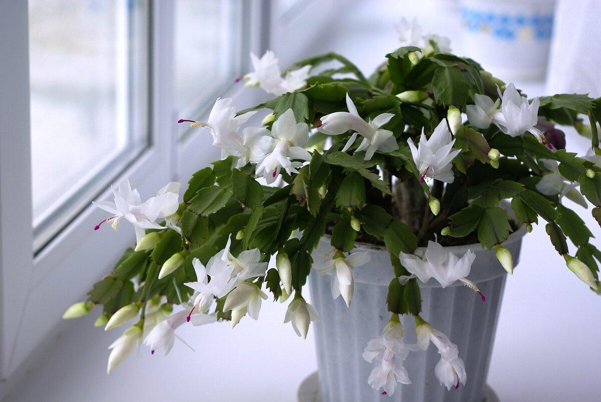 поднебесной весенние комнатные цветы фото такой рецепт