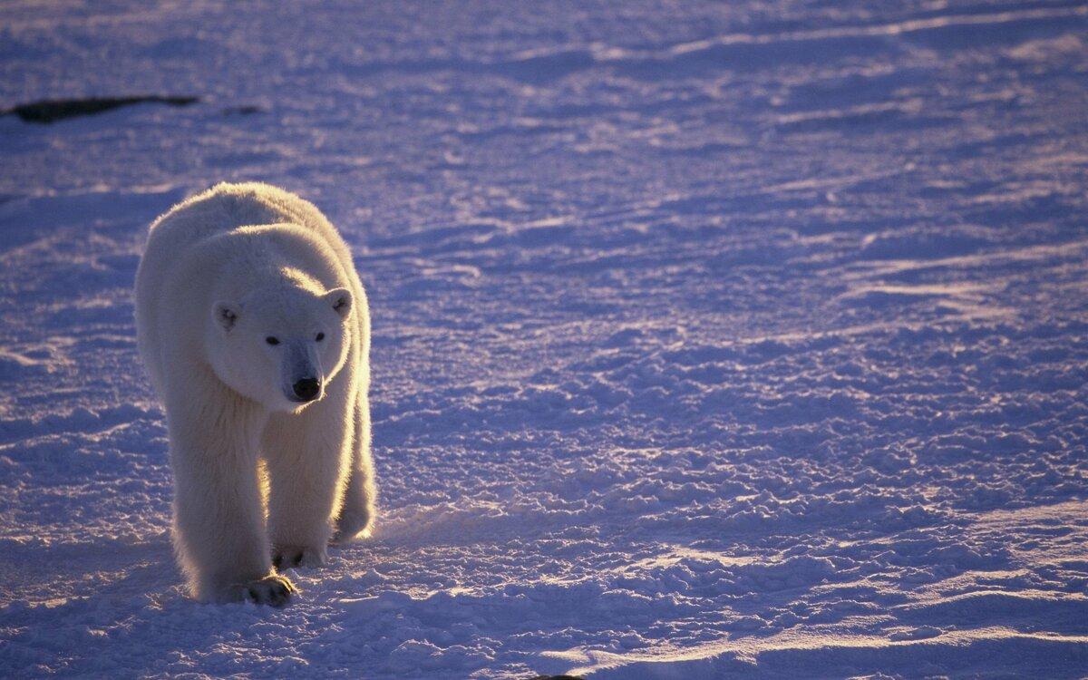 Картинка животных арктики