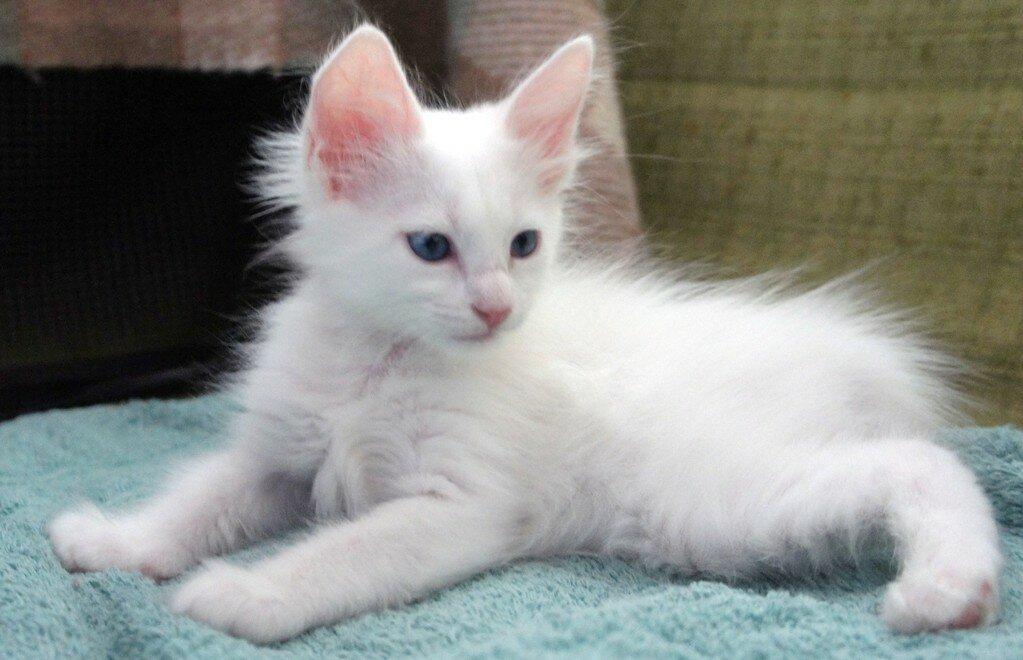 котята турецкая ангора см фото привлекательность