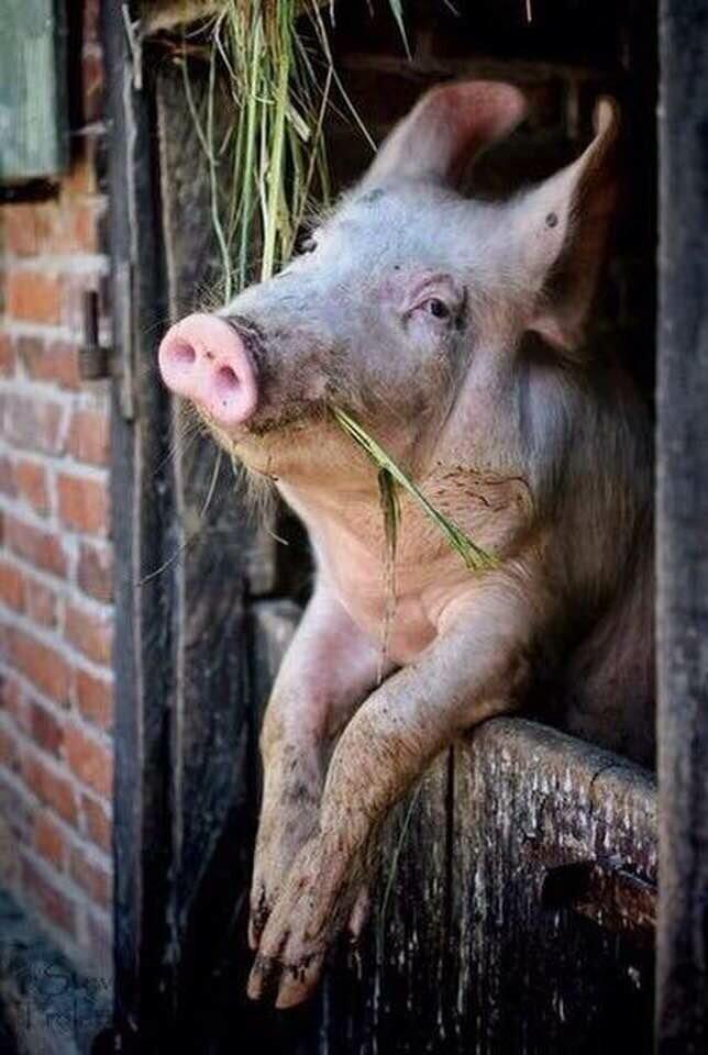 Смешные животные картинки с надписями про свиней