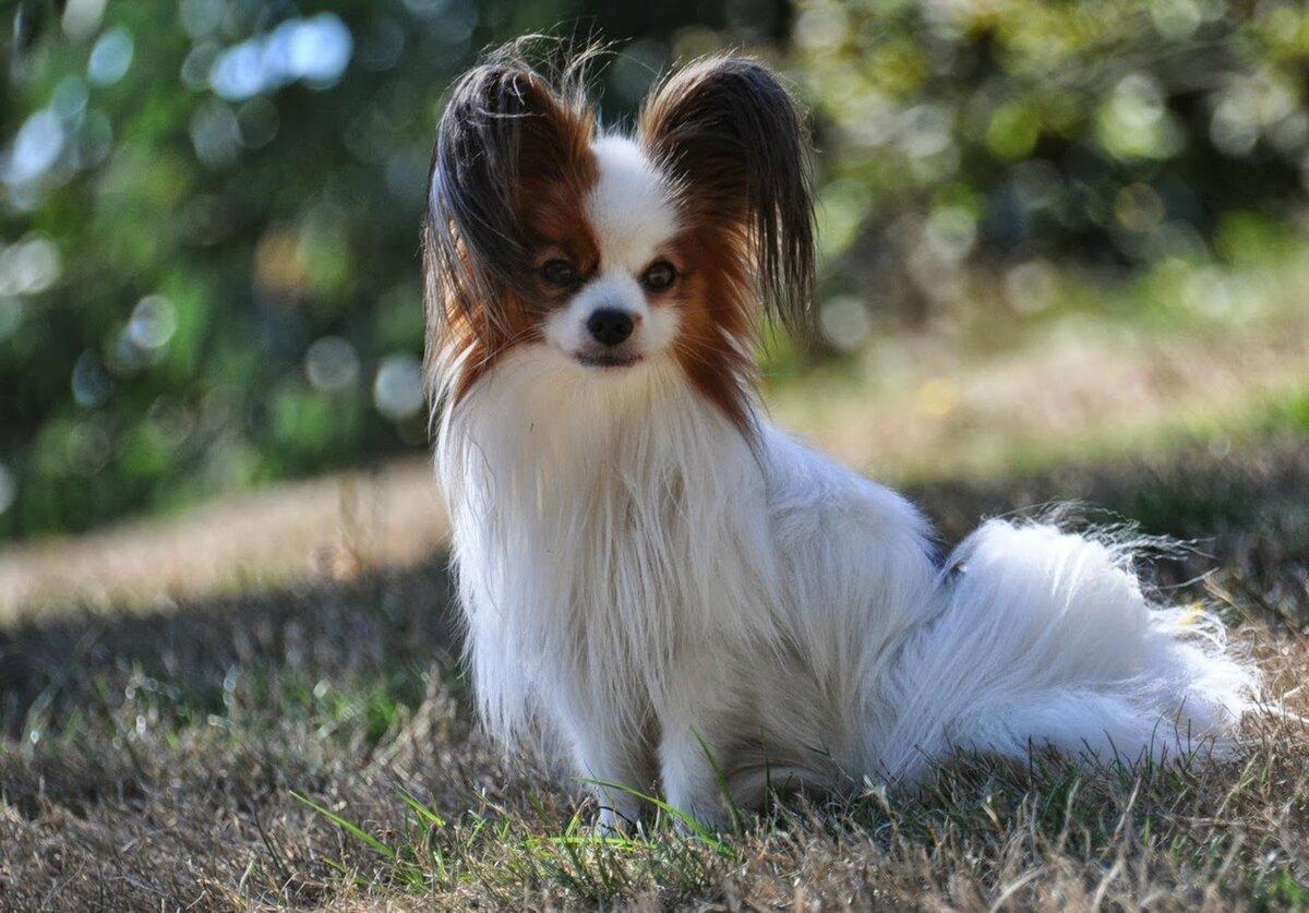 Фото собак породы папильон