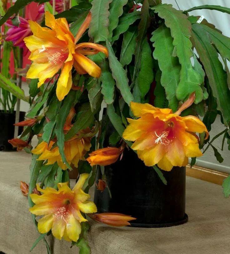 лесной кактус фото